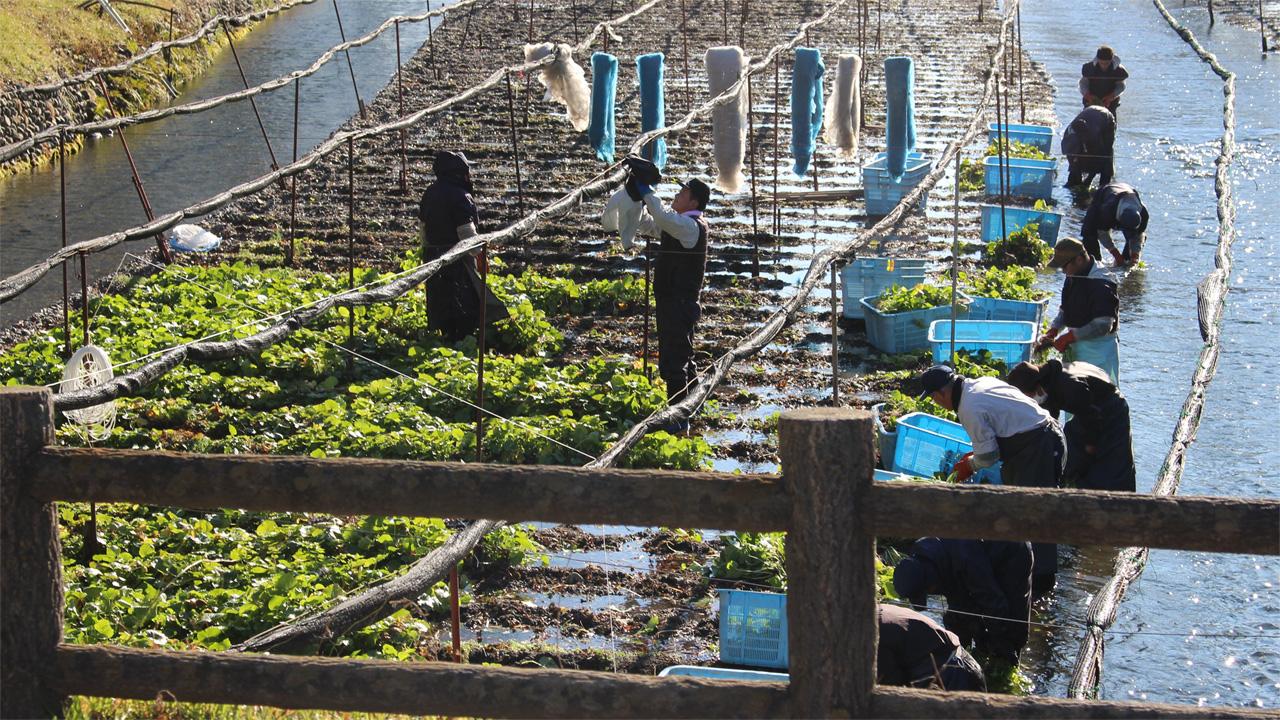 Daio Wasabi Farm